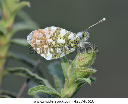 Orange Tip Butterfly - Anthocaris cardamines phoenissaMale at rest - stock photo
