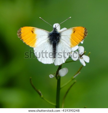 orange tip butterfly Anthocharis cardamines - stock photo