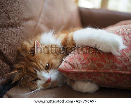 Orange Traditional Doll Face Persian Cat Laying Down Looking Lazy