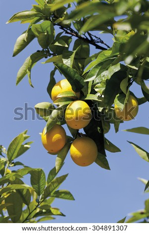 Orange tree,close up