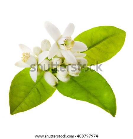 Orange tree flowers on a branch close-up  isolated on white background