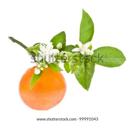 Orange Tree Branch