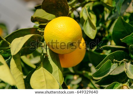 Orange tree on the garden