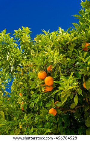 Orange tree. oranges hanging tree. Ripe tangerines on a tree branch. - stock photo