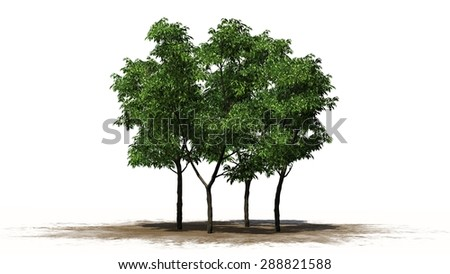 orange tree - separated on white background