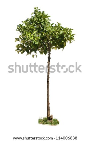 Orange tree with green fruits white isolated