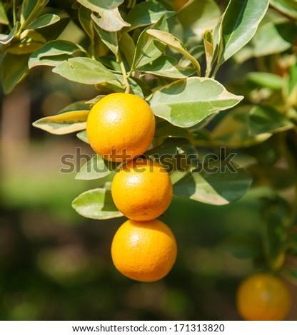 Orange tree with ripe fruits - stock photo