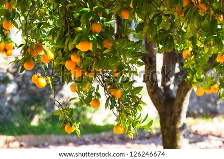 Orange tree with ripe fruits in sunlight. Horizontal shot - stock photo