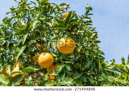 Orange Tree with the branch of ripe oranges - stock photo