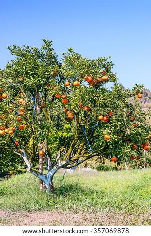 Orange trees in orange orchard. Orange groves, selective focus - stock photo