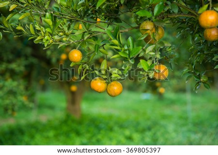 Orange trees in the garden