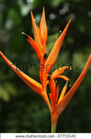 Orange tropical flower - stock photo