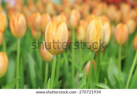 Orange tulip flowers - stock photo
