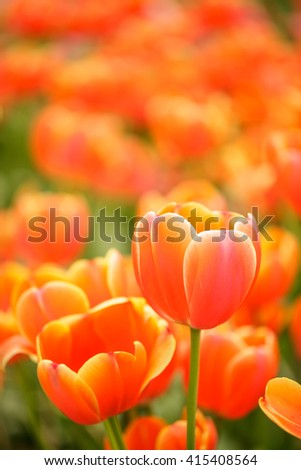 orange tulip in the garden.beautiful bouquet of tulip.tulip in garden.colorful of spring
