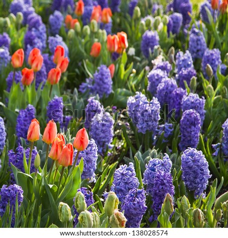 Orange tulips and blue hyacinths in early morning sunshine in spring - square crop - stock photo