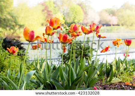 Orange Tulips by a lake.