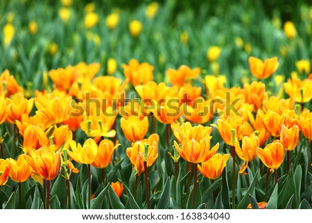 Orange tulips flower field