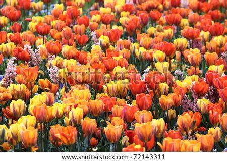 orange tulips in spring - stock photo