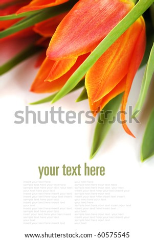 Orange tulips on white background (with easy removable sample text) - stock photo