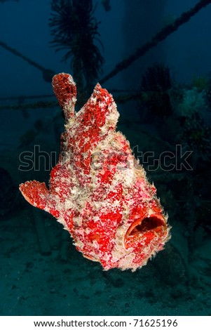 Orange variation giant frogfish (Antennarius commersonii) with artificial reef in the background. Taken in Mabul, Borneo, Malaysia. - stock photo