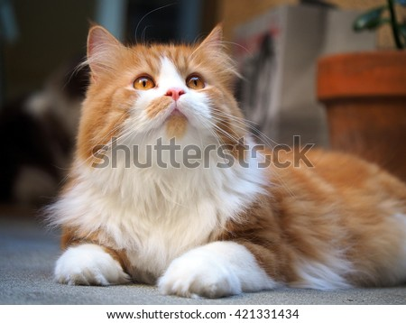 Orange White Bi Color Traditional Doll Face Persian Cat Laying Down Looking Upwards - stock photo