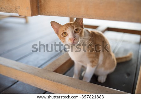 Orange & white cat under a chair looking towards camera