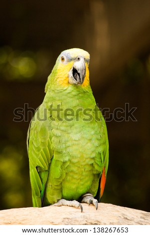 Orange-Winged Amazon Parrot at the Omaha Zoo