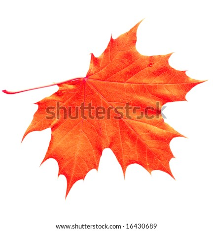 Orange Yellow maple leaf isolated on white with clipping path included