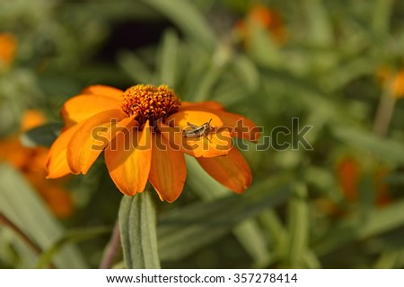 Orange Zinnia flower (Zinnia angustifolia 'Orange') with a little grasshopper on its petal - stock photo