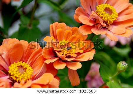 Orange Zinnias and a bee