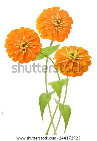 Orange Zinnias on a white background.