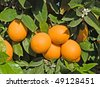 Oranges and flowers - stock photo