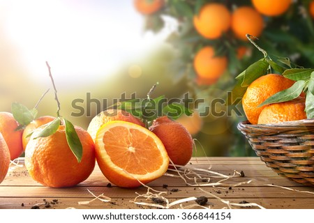 Oranges group freshly picked in a basket and on a brown wooden table in an orange grove. With a tree and garden background with afternoon sun. Horizontal Composition. Front view. - stock photo