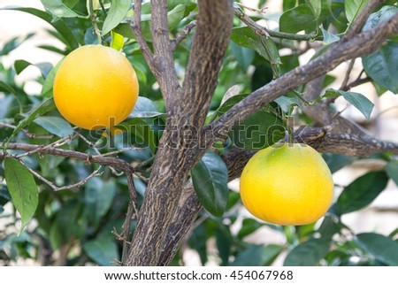 oranges growing on the tree