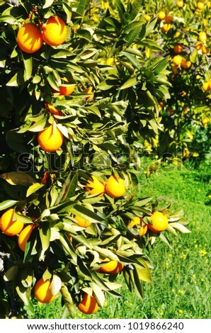 oranges hanging  on orange tree