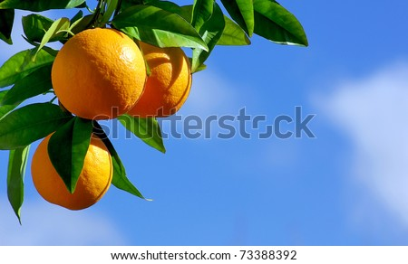 oranges hanging tree - stock photo