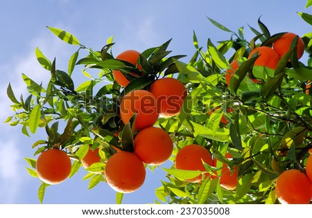 oranges hanging tree in sky background - stock photo