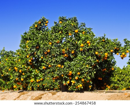 oranges in the field - stock photo