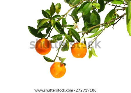 Oranges on a branch. Isolated on a white background  - stock photo