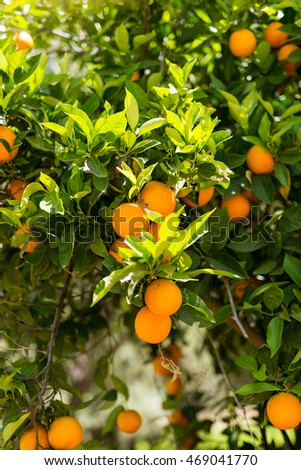 Oranges on a tree in the south-central of Crete near the village Matala in April, shortly before the harvest. Oranges are an export article from Greece