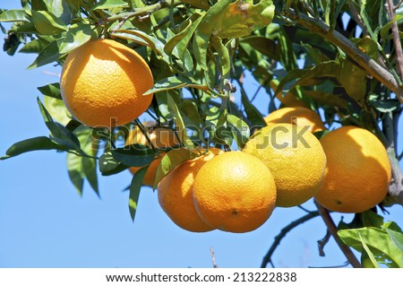 Oranges on Crete near Matala. November. Orange tree in the south of Crete shortly before the harvest. Oranges are an export article from Greece - stock photo