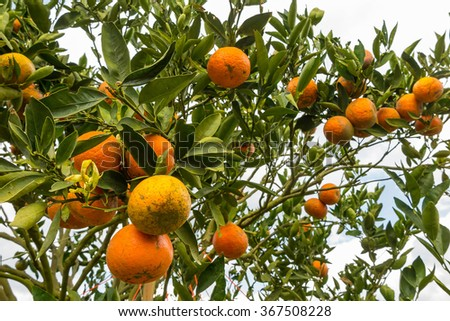 Oranges on trees in the garden in blur background