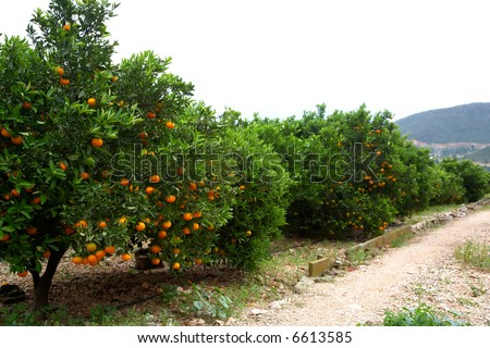 oranges ripening on the trees of an orchard - stock photo