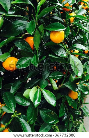 Oranges. Tangerine. Kumquat. Citrus. Fresh oranges tree with droplet - stock photo