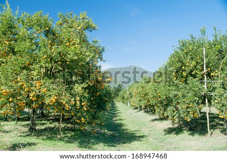 oranges trees in orchard - stock photo