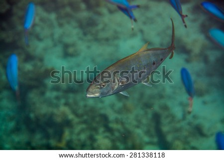 Orangespotted Trevally - Carangoides bajad hunting in red sea - stock photo