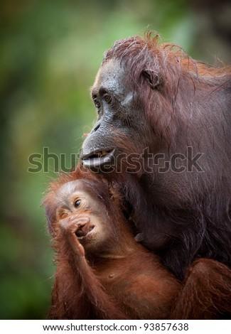 Orangutan at Camp Leakey rehabilitation Center - stock photo