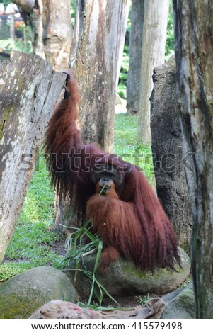 Orangutan chewing some plants while holding onto a tree with one hand - stock photo