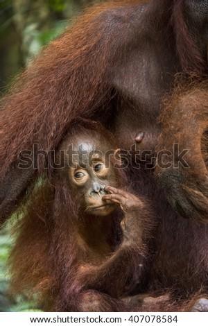 Orangutan cub with orangutan mother in a native habitat. Bornean orangutan (Pongo o pygmaeus wurmmbii) in the wild nature. Rainforest of Island Borneo. Indonesia. - stock photo