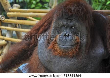 orangutan cute ,orangutan smile  - stock photo